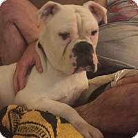 English Bulldog Mix Dog for adoption in Plainfield, Illinois - Fiona