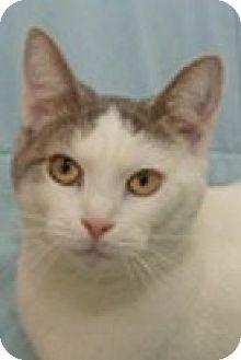 Domestic Shorthair Cat for adoption in Hillside, Illinois - Eloise-PLAYFUL LAP CAT