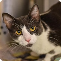 Domestic Shorthair Cat for adoption in Reisterstown, Maryland - Lucy