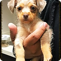 Dachshund/Terrier (Unknown Type, Small) Mix Puppy for adoption in Los Alamitos, California - Jewel 2