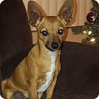 Chihuahua Mix Puppy for adoption in Mesa, Arizona - Carmello