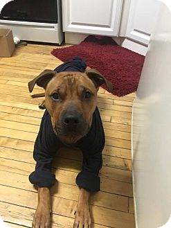 Vizsla/American Staffordshire Terrier Mix Dog for adoption in Warrenville, Illinois - Chipper