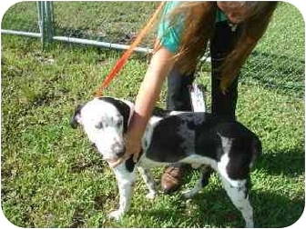 Catahoula Leopard Dog Dog for adoption in Mims, Florida - Gus