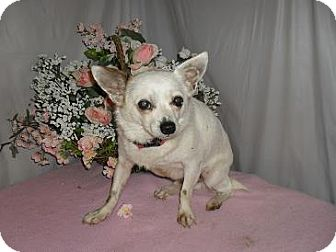 Chihuahua Dog for adoption in Chandlersville, Ohio - Ceasar