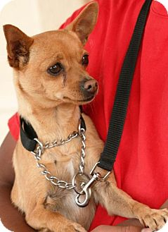 Chihuahua Mix Dog for adoption in Palmdale, California - Princess