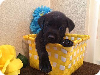 Labrador Retriever/German Shepherd Dog Mix Puppy for adoption in Inglewood, California - Bravo