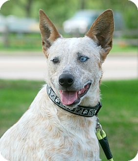 Australian Cattle Dog Mix Dog for adoption in Delano, Minnesota - Gatsby