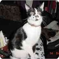 Domestic Shorthair Cat for adoption in Pasadena, California - LaRue