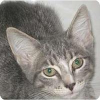 Domestic Shorthair Cat for adoption in Jacksonville, North Carolina - Rose