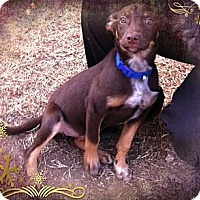 Adopt A Pet :: Vixen - Fort Riley, KS