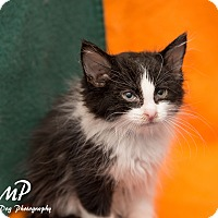 Adopt A Pet :: Paulie - Fountain Hills, AZ