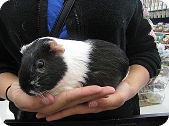 Guinea Pig for adoption in Warren, Michigan - Clymenstra