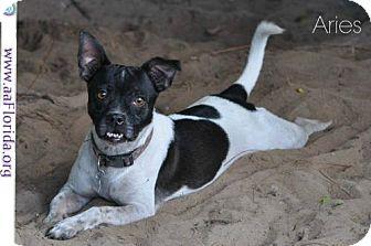 Rat Terrier Dog for adoption in Pensacola, Florida - Aries