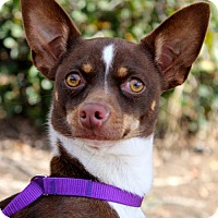 Adopt A Pet :: Merengue - San Diego, CA