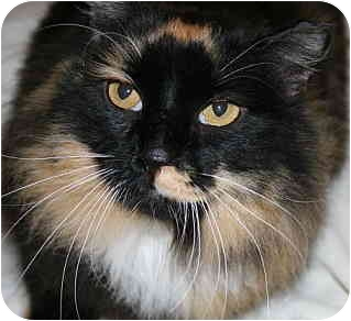Domestic Longhair Cat for adoption in Bristol, Rhode Island - Charlotte