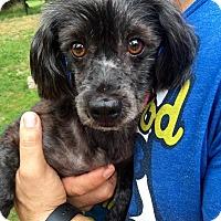 Adopt A Pet :: Pepper - Pittsburgh, PA