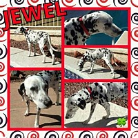 Dalmatian Dog for adoption in Scottsdale, Arizona - Jewel