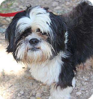 shih tzu mix rescue gulliver adopted dog wheaton il shih tzu terrier 5093