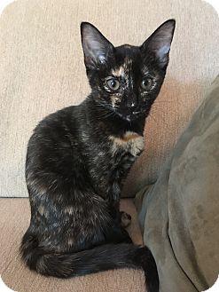 Domestic Shorthair Cat for adoption in Apex, North Carolina - Venus