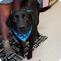 Labrador Retriever Mix Dog for adoption in Maryville, Illinois - Ace