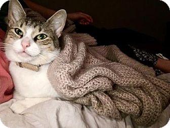 Domestic Shorthair Cat for adoption in New York, New York - Bliss