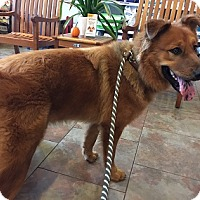 Adopt A Pet :: Big Red - Austin, TX