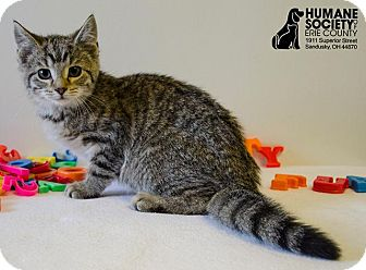 Domestic Shorthair Kitten for adoption in Sandusky, Ohio - JON