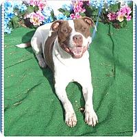 Adopt A Pet :: SORRELLS - Marietta, GA