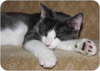 Domestic Shorthair Cat for adoption in Davis, California - Izzy