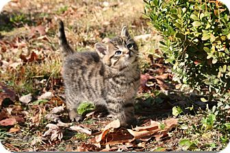 American Shorthair Kitten for adoption in Hagerstown, Maryland - Yogi