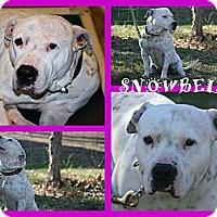 Adopt A Pet :: Snowbell - Poughkeepsie, NY