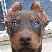 Adopt A Pet :: Baby Hoffmann - Oakley, CA