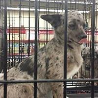 Adopt A Pet :: Deer - Fresno, CA