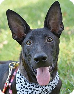 Bernese Mountain Dog Mix Dog for adoption in San Francisco, California - Haily