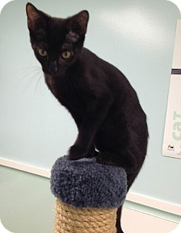 Domestic Shorthair Kitten for adoption in Putnam Hall, Florida - Malloy