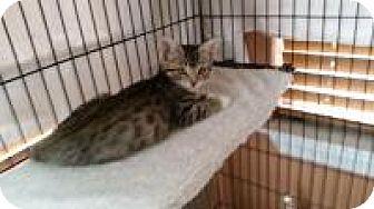 Egyptian Mau Cat for adoption in Medford, New Jersey - Julia  (sonnys kittens)