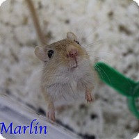 Gerbil for adoption in Bradenton, Florida - Marlin