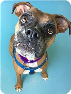 Boxer Mix Dog for adoption in Portsmouth, Virginia - Roxy