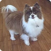 Adopt A Pet :: Brandi - Rochester, MN