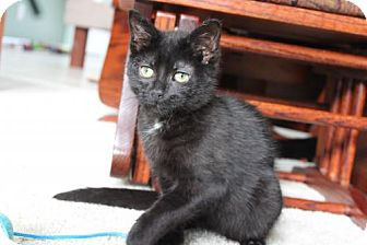 Domestic Shorthair Kitten for adoption in Lockport, New York - Sir George
