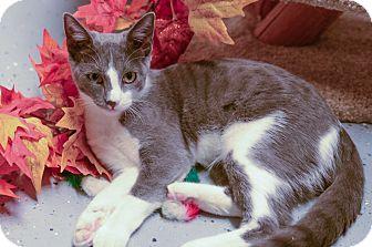 Domestic Shorthair Kitten for adoption in Phoenix, Arizona - SIREN