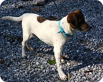 Jack Russell Terrier/German Shepherd Dog Mix Dog for adoption in West Grove, Pennsylvania - Snickers