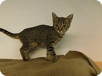 Domestic Shorthair Kitten for adoption in Lake Panasoffkee, Florida - Jade