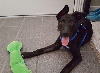 German Shepherd Dog/Labrador Retriever Mix Puppy for adoption in Austin, Texas - Xander