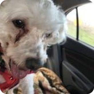 Maltese/Bichon Frise Mix Dog for adoption in Homer, New York - Buddy