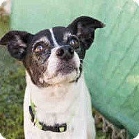 Parson Russell Terrier Mix Dog for adoption in Agoura, California - Brewster