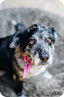 Australian Shepherd/Labrador Retriever Mix Dog for adoption in Los Angeles, California - Angel
