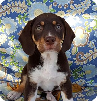 Beagle Mix Puppy for adoption in Denver, Colorado - Lillith