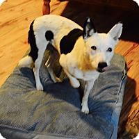 Australian Cattle Dog/Border Collie Mix Dog for adoption in Lebanon, Tennessee - Captain