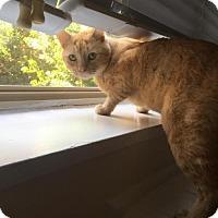 Domestic Mediumhair Cat for adoption in Washington, D.C. - Morris (Has Application)